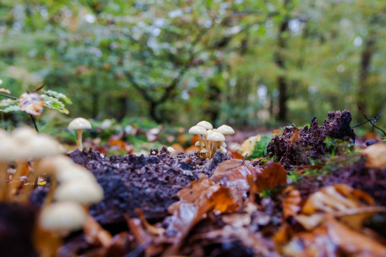 Wild mushrooms on rotten tree trunk in autumn forrest between Moss and colored leaves at Fall season. Netherlands